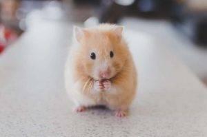 Noch überlegt die Maus, ob sie schnell losrennen möchte
